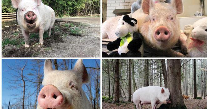 10 Razones Por Las Que Esther The Wonder Pig Es Como Nosotros